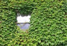 Lone fönster som räknas i murgröna Arkivfoto