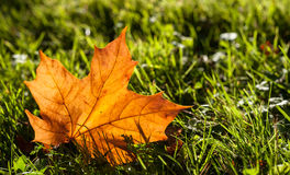 Lone fall leaf on grass background Stock Photo