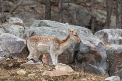 A lone fallow deer on a rock face Royalty Free Stock Photos