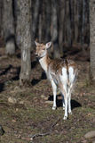 Lone fallow deer in the woods Royalty Free Stock Photo
