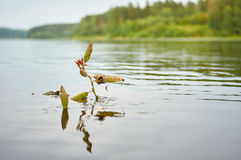 Lone felled branch stranded on the lake. Stock Images