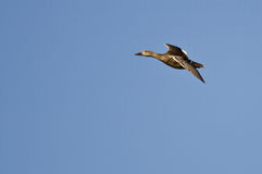 Lone Female Duck Flying in a Blue Sky Stock Photo