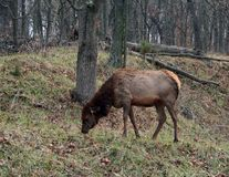 Lone Female Elk grazing in the wild stock images