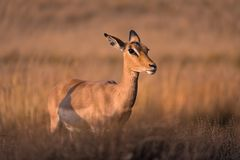 A lone female impala aepyceros melampus looking into the distance at golden hour, South Africa. A lone female impala aepyceros melampus amidst long grass royalty free stock photos