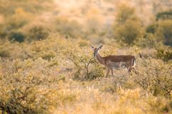 A lone female impala aepyceros melampus among low-lying bushes at sunset in the Kruger. A lone female impala aepyceros melampus among low-lying bushes and shrubs stock photo
