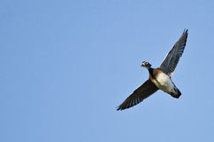 Lone Female Wood Duck Flying in a Blue Sky Stock Images