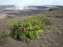 The Lone Fern and Kilauea Caldera Venting Out Gases. On the Big Island, Volcano, Hawaii Stock Photo