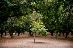 Lone Filbert Tree in Orchard. Young filbert or hazelnut tree in an orchard in Oregon Stock Image