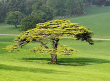 Lone Fir Tree in an English Park Royalty Free Stock Photography