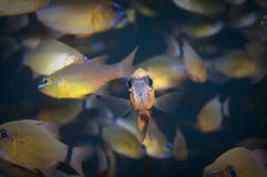 Lone fish looks out from the crowd Royalty Free Stock Images