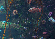 Lone fish on the reef Stock Photography