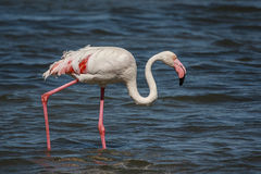 A Lone Flamingo. Wading in the lagoon Royalty Free Stock Image