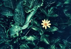 Free Lone Flower Royalty Free Stock Image - 153490366