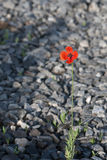 A lone flower growing on the rocks Royalty Free Stock Images