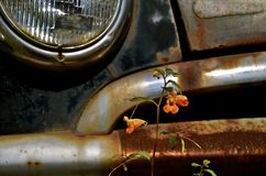Lone flower grows in front of car bumper. A lone orange flower grows in fron of the bumper and grill of an old rusty car Stock Images