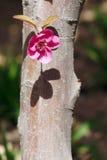 Lone flower. One Malus Sparkler flower on trunk Stock Image