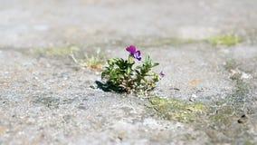 Lone flower Viola stock footage