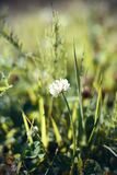 A lone fluffy white clover flower grows in the middle of a field stock photography