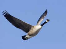 Lone Flying Canada Goose Stock Photo