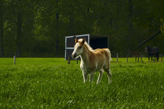 Lone foal in a meadow Royalty Free Stock Image