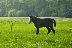 Lone foal in a meadow Stock Images