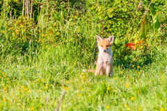 Lone fox cub sitting and watching Stock Photography