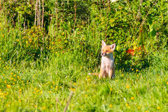 Lone fox cub sitting and watching Royalty Free Stock Photos