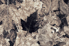 Lone Frosted Dark Maple Leaf - Black and White. A lone frosted dark maple leaf rests atop light colored frosted leaves Royalty Free Stock Photography