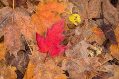 Lone Frosted Red Maple Leaf. A frosted red maple leaf rests atop brown colored frosted leaves Royalty Free Stock Photos