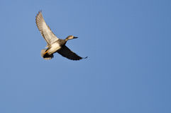 Lone Gadwall Flying in a Blue Sky Stock Photos