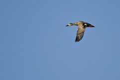 Lone Gadwall Flying in a Blue Sky Royalty Free Stock Images