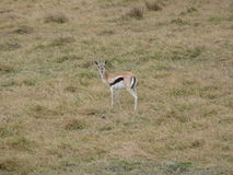 A Lone Gazelle Royalty Free Stock Photo