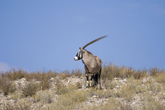 Lone Gemsbok Royalty Free Stock Photos