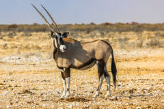 Etosha, Namibia. Lone Gemsbok in Ethosa National Park,  in the dry season, Namibia, Africa Royalty Free Stock Photos