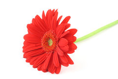 Lone Gerbera Flower On White Background Royalty Free Stock Photography