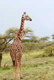 Lone giraffe is grazing on African savannah in bushes, Serengeti Stock Photos