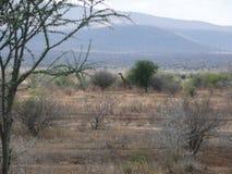 A lone Giraffe Stock Image