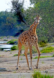 A lone giraffe standing near the mara river looking ahead Royalty Free Stock Images