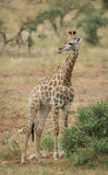 A lone giraffe standing next to a bush. A South African giraffe (Giraffa giraffa) standing next to a shrub in the Kruger National Park in South Africa royalty free stock photo