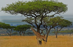 Lone Giraffe standing on the open plains with a large acacia tree in the background Royalty Free Stock Photo