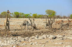 A lone giraffe standing by a waterhole with springbok and zebra Royalty Free Stock Image