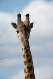 Lone Giraffe staring at camera Stock Image