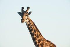 Lone Giraffe at Sunset. Lone giraffe staring to the camera at sunset Stock Image