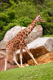 A Lone Giraffe Walking Stock Images