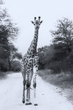 Lone giraffe walking on a read artistic conversion Royalty Free Stock Photo