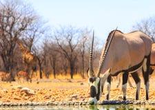 A lone giraffeGemsbok Oryx drinking from camp waterhole Royalty Free Stock Photography