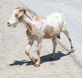 Lone Goat Stock Images