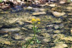 Lone Goldenrod Blooming Against Flowing Water royalty free stock images