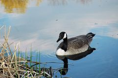 Lone Goose Stock Photography