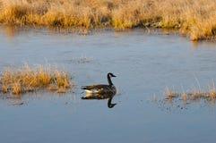 Lone goose Stock Photo